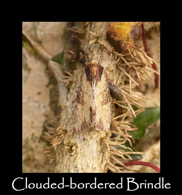 M Clouded-bordered Brindle (2)