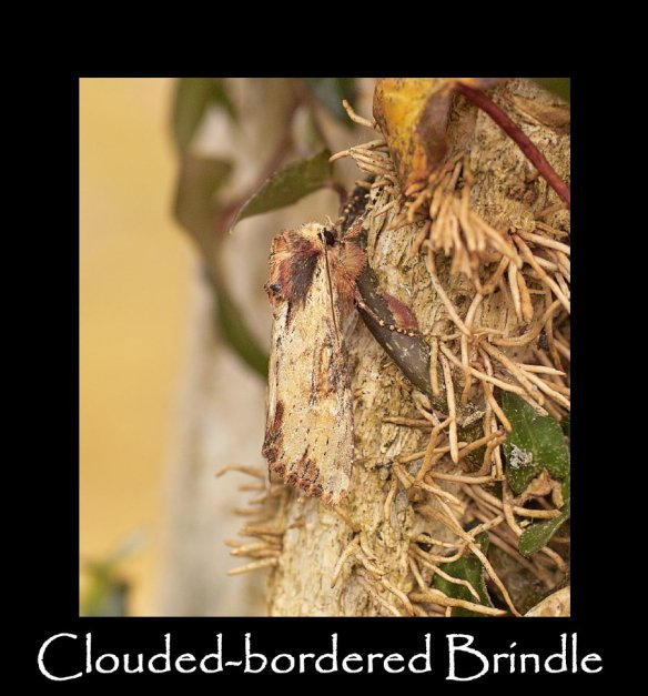 M Clouded-bordered Brindle