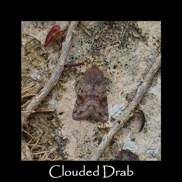 M Clouded Drab