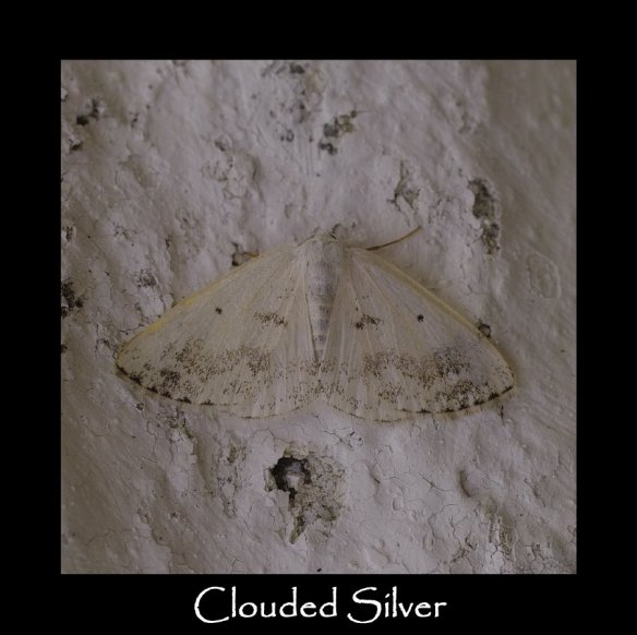 M Clouded Silver