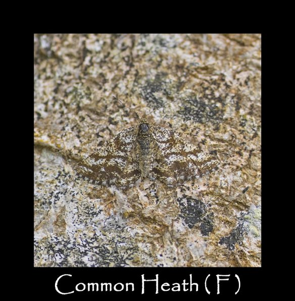 M Common Heath ( F )