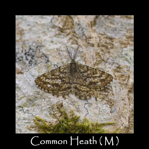 M Common Heath ( M )
