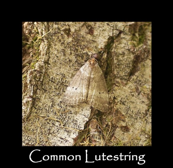 M Common Lutestring (2)
