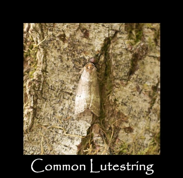 M Common Lutestring