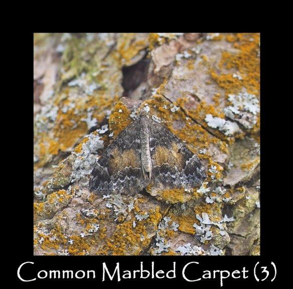 M Common Marbled Carpet (3)