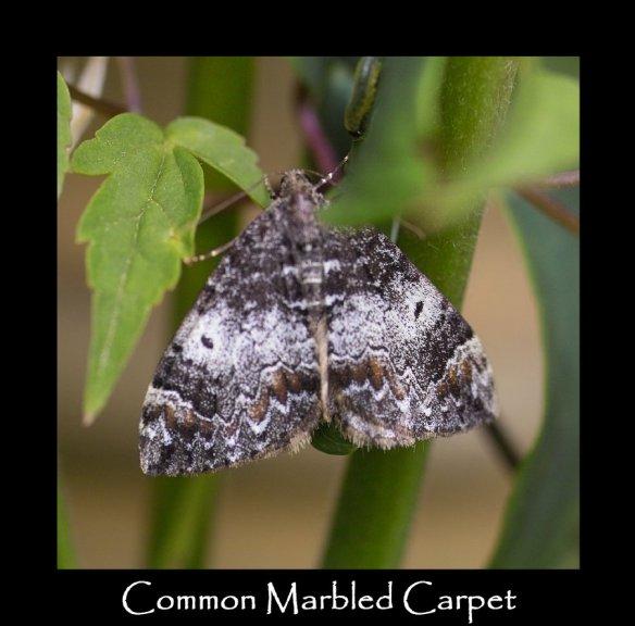M Common Marbled Carpet