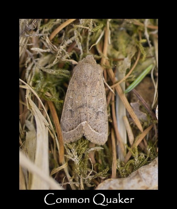 M Common Quaker