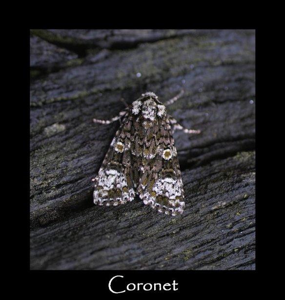 M Coronet