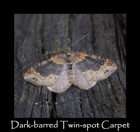 M Dark-barred Twin-spot Carpet