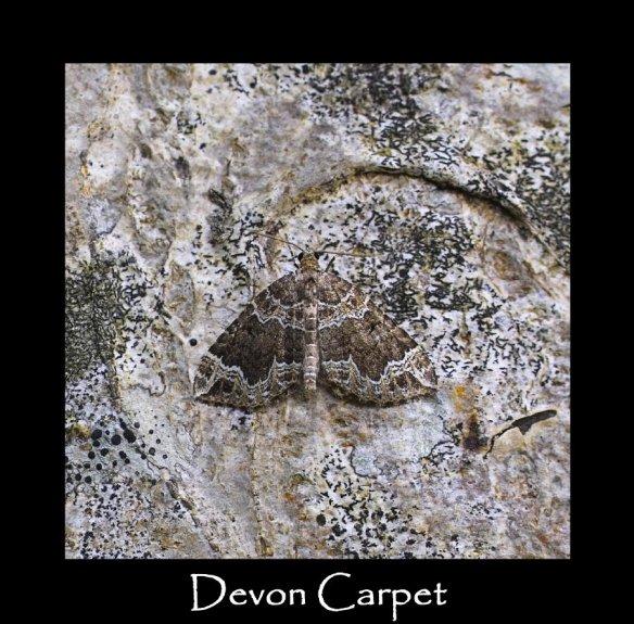 M Devon Carpet