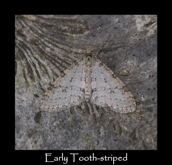 M Early Tooth-striped