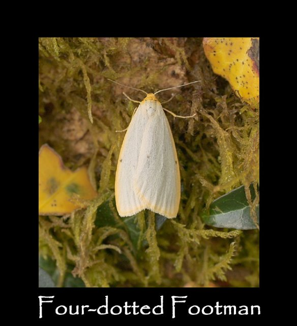M Four-dotted Footman (2)