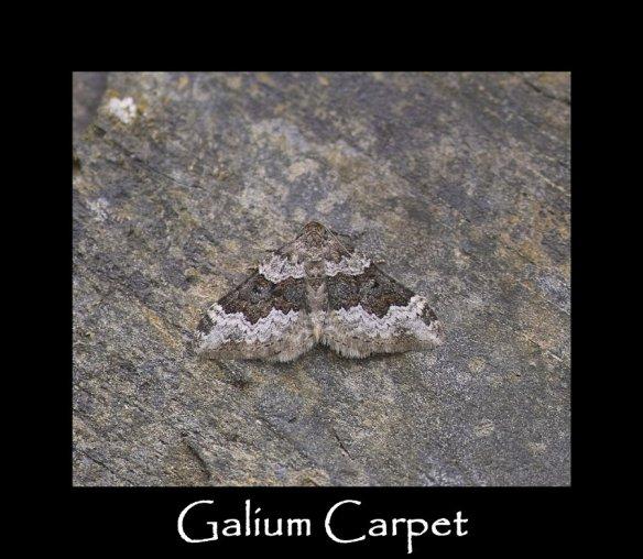 M Galium Carpet
