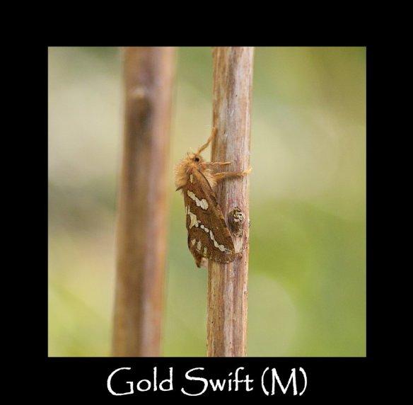 M Gold Swift (M)