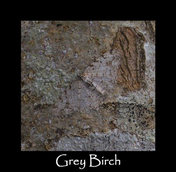 M Grey Birch