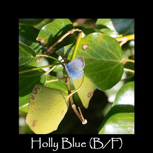 M Holly Blue (B F)