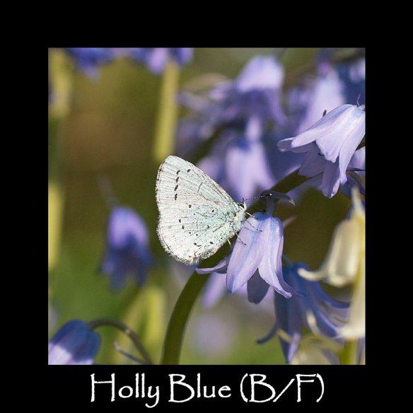 M Holly Blue (B F)2