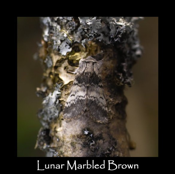 M Lunar Marbled Brown