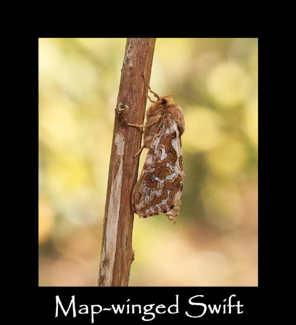 M Map-winged Swift