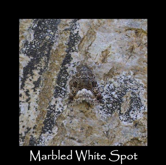 M Marbled White Spot