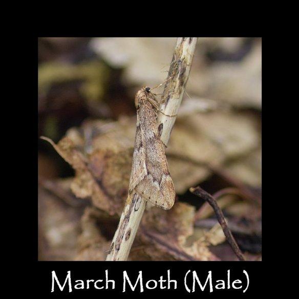M March Moth (M)