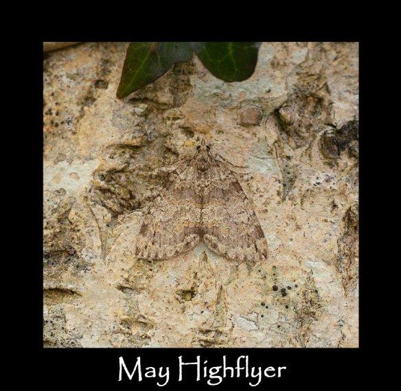 M May Highflyer