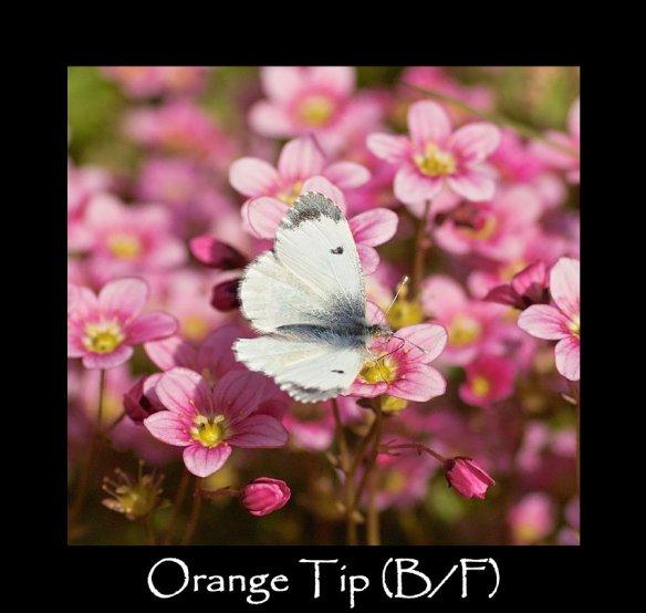 M Orange Tip (B F ) (2)