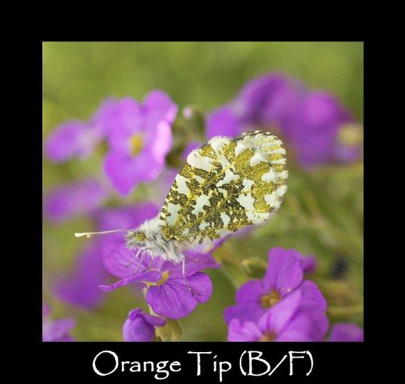 M Orange Tip (B F )