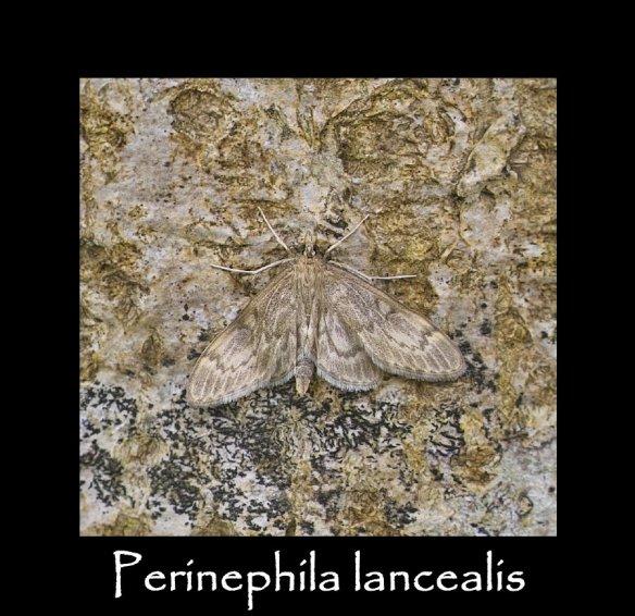 M Perinephila lancealis