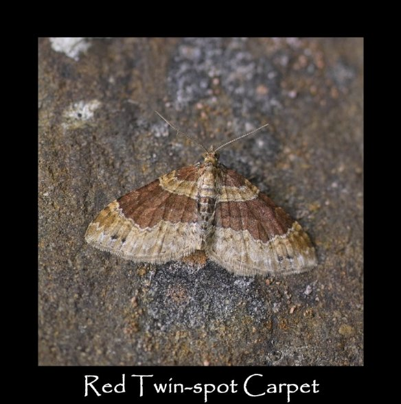M Red Twin-spot Carpet