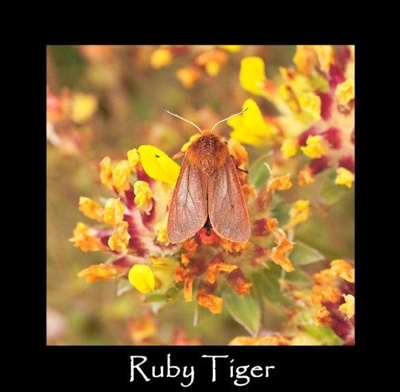 M Ruby Tiger (2)