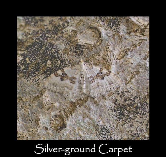 M Silver-ground Carpet