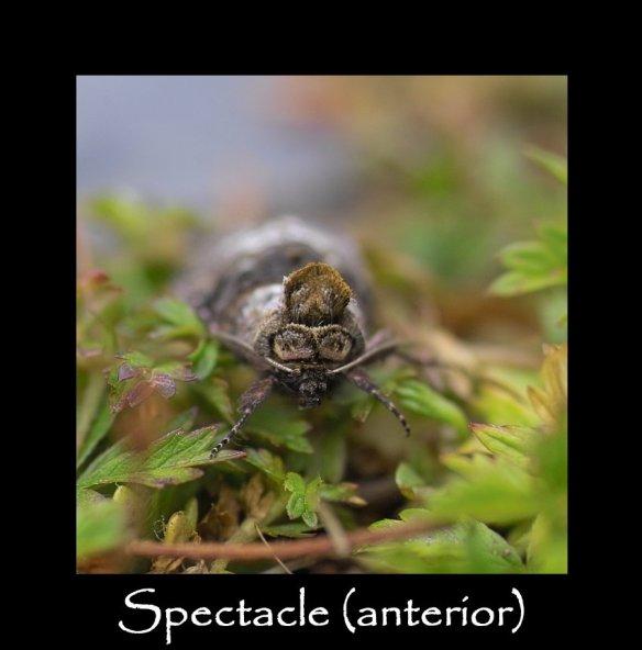 M Spectacle (anterior)
