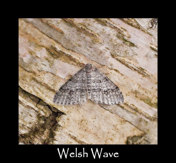 M Welsh Wave