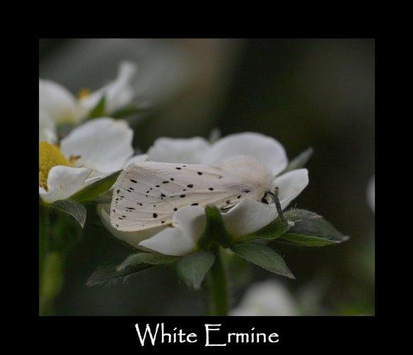 M White Ermine