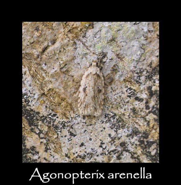 S Agonopterix arenella