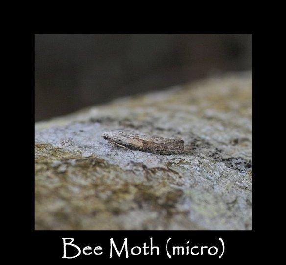 S Bee Moth ( micro ) 2