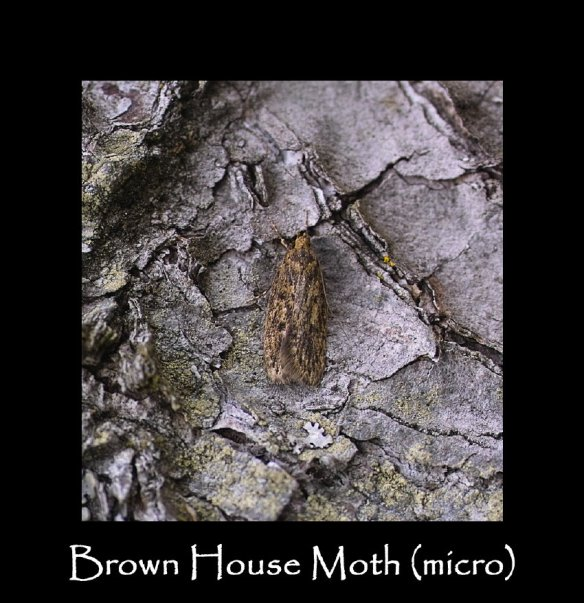 S Brown House Moth (micro)