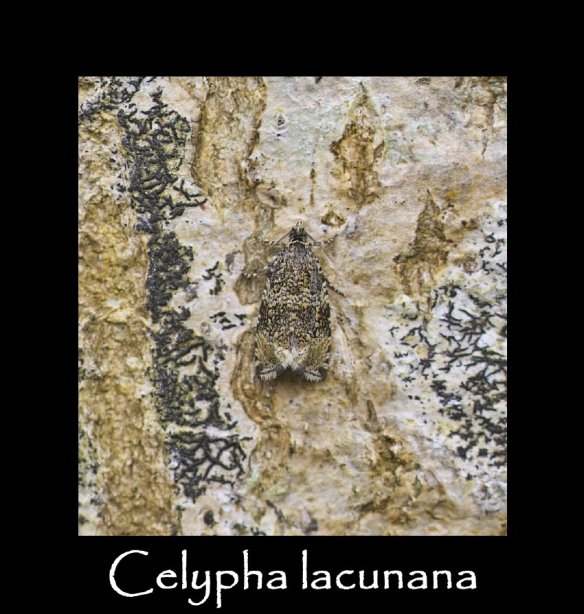 S Celypha lacunana