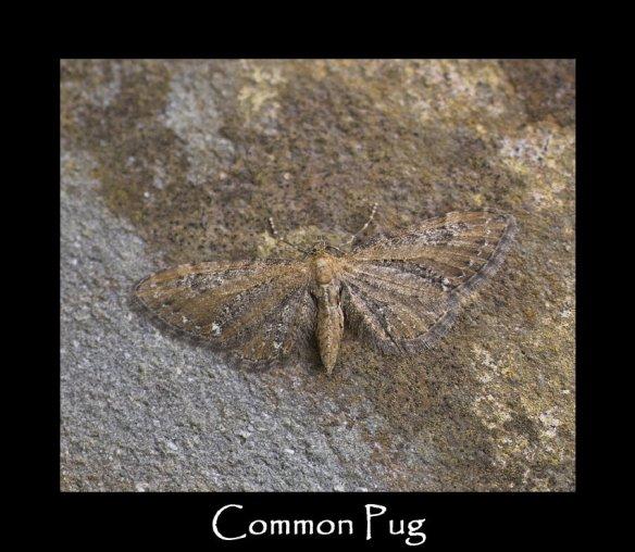 S Common Pug
