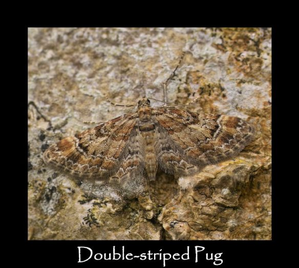 S Double-striped Pug