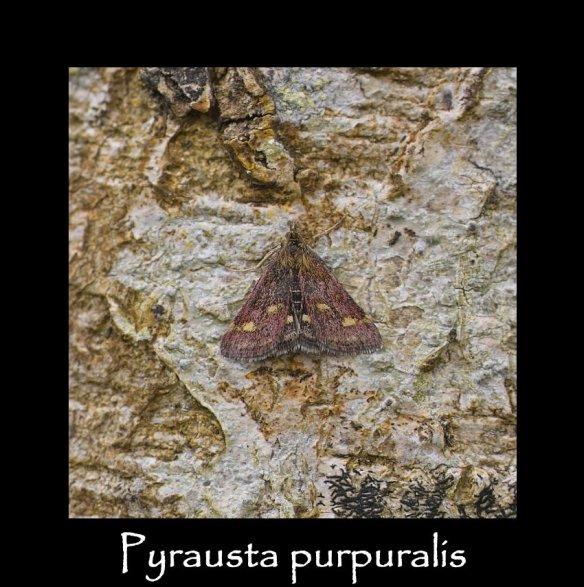 S Pyrausta purpuralis