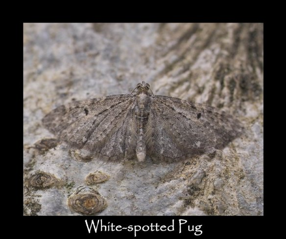 S White-spotted Pug