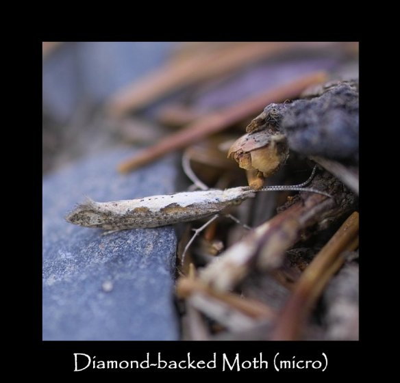 T Diamond-backed Moth (micro)