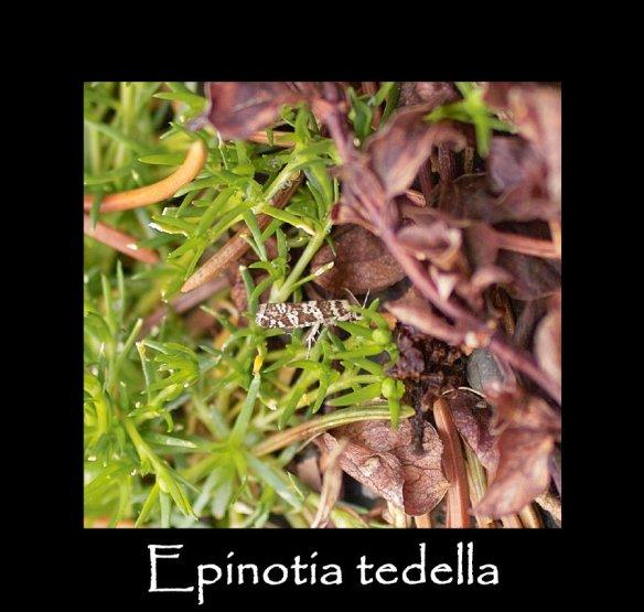 T Epinotia tedella (2)