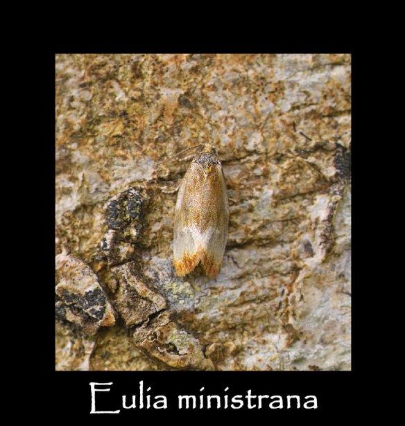T Eulia ministrana