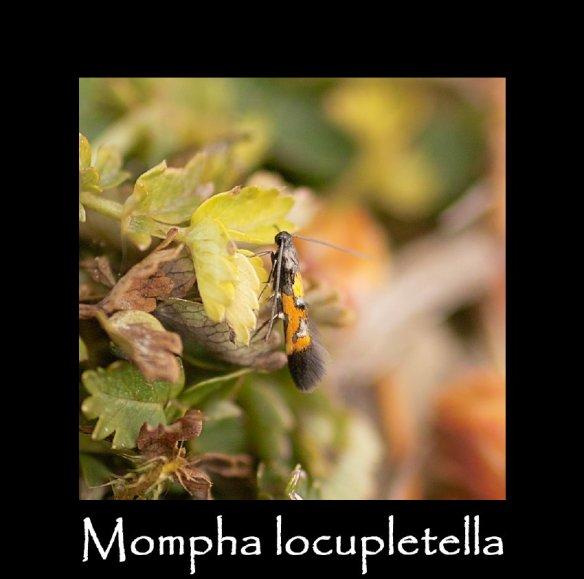 T Mompha locupletella