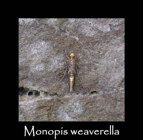 T Monopis weaverella 2