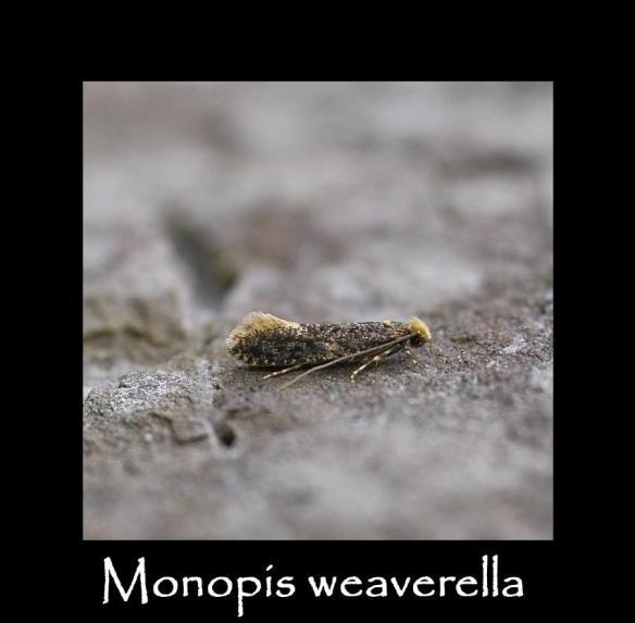 T Monopis weaverella