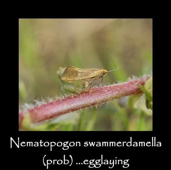 T Nematopogon swammerdamella egglaying